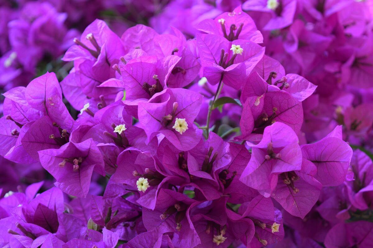 foto de flor de bugambilia